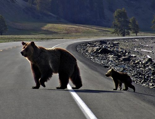 Researchers Examine the Intersection of Human and Wildlife Safety on a Major Road Network