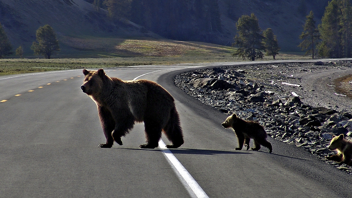Grizzly and cub crossing road
