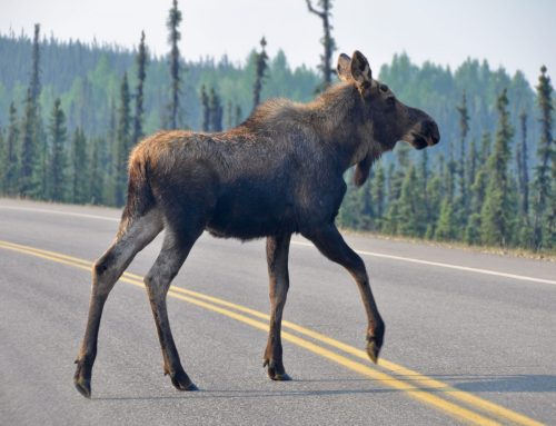 The Road to Recovery: How Wildlife Corridors are Smart Economic Investments