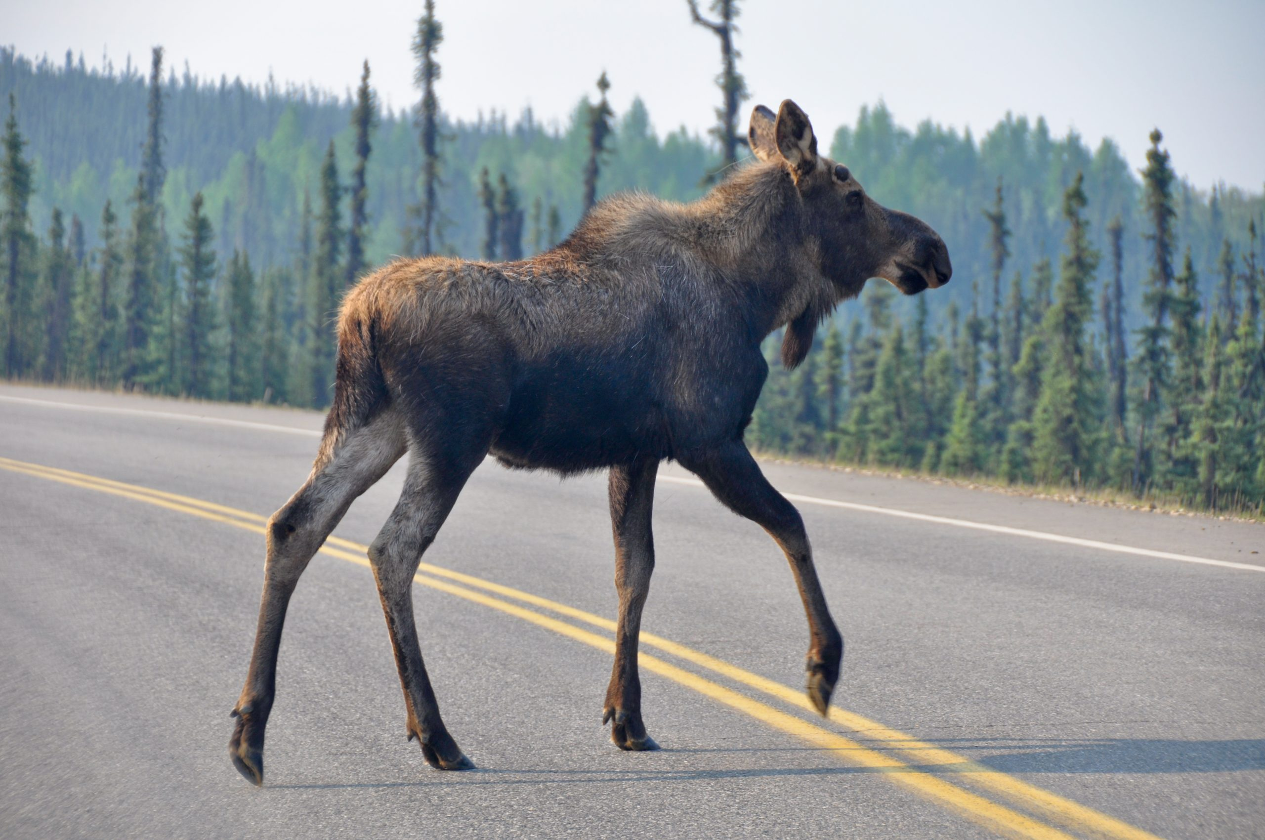 Moose crossing the road