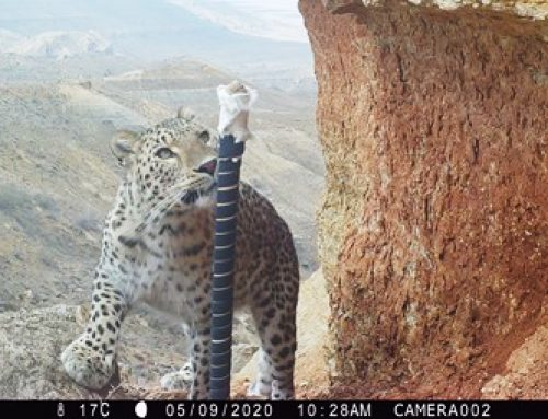 Connecting Leopards, Connecting People: The Central Asian Ecological Connectivity Initiative