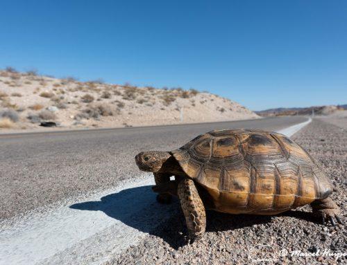 Creating Safe Passage for Desert Tortoises