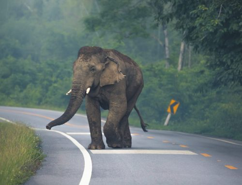 Protecting Asian Elephant Movement in 13 Countries